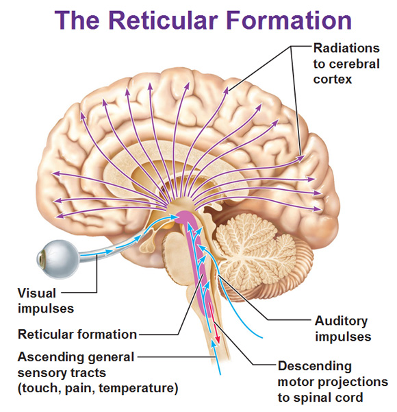 Ras Brain Stem Diagram Electrical Work Wiring Diagram